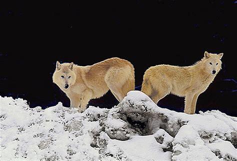 WL-015 Artic Wolves - Kalispell, MT