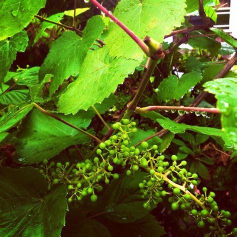 trim grape vines when do you prune a grape vine 28 images time to prune grape vines organic gardener