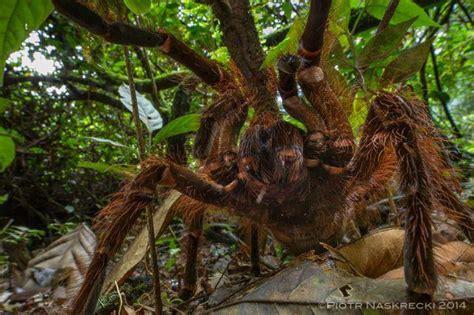 Lielākais zirneklis pasaulē - Spoki