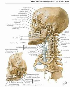 Anatomy Of Human Cervical Spine And Skull  Netter U0026 39 S