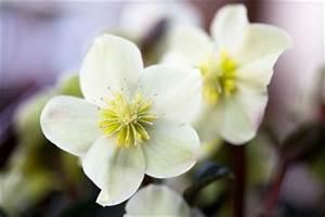 Winterharte Blumen Für Den Garten : winterharte blumen f r den garten finden so machen sie es richtig ~ Whattoseeinmadrid.com Haus und Dekorationen