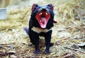Tasmanian devils evolve resistance to facial cancers