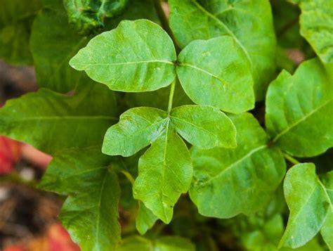 poison oak pacific poison oak the poison ivy poison oak poison sumac site