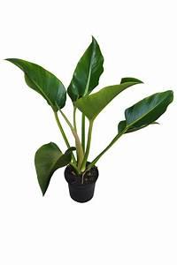 Philodendron 'Congo' (USA Clone)