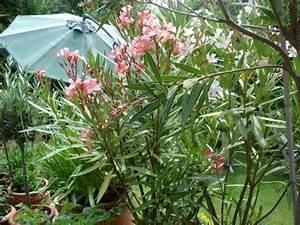 Pflege Von Oleander : pflege von oleander mein sch ner garten forum ~ Eleganceandgraceweddings.com Haus und Dekorationen