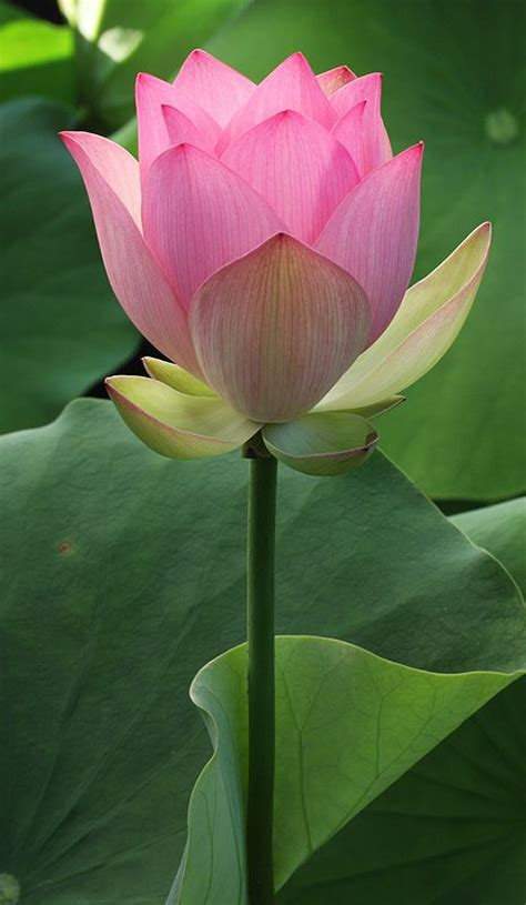 lotus garden 45 photos 111 717 best lotus waterlily images on lotus