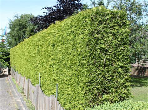 thuja kaufen lebensbaum brabant thuja occidentalis brabant baumschule horstmann