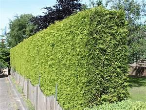 Lebensbaum Hecke Schneiden : lebensbaum 39 brabant 39 thuja occidentalis 39 brabant 39 baumschule horstmann ~ Eleganceandgraceweddings.com Haus und Dekorationen