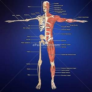 Muscular Skeletal Diagram