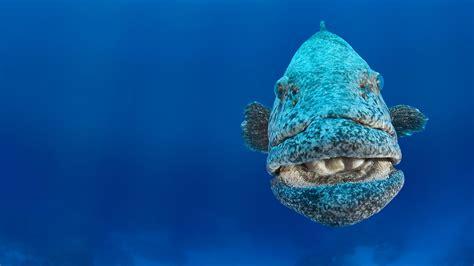 grouper cod potato