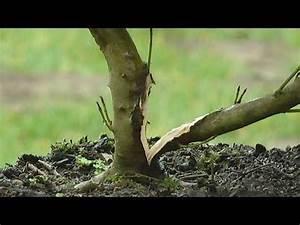 Bonsai Stecklinge Machen : bonsai cornus hartriegel ein g rtner will es wissen teil 2 youtube bonzai gestaltung ~ Indierocktalk.com Haus und Dekorationen