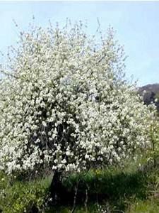 Taille De Cerisier : cerisier de sainte lucie prunus mahaleb le jardin du ~ Melissatoandfro.com Idées de Décoration