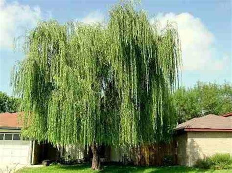 Árvore Chorão - Salgueiro e Planta | Flores - Cultura Mix ...