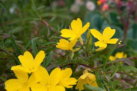 Oenothera fruticosa - BBC Gardeners' World Magazine