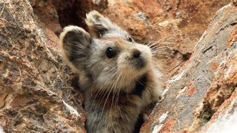 petition worldwide wildlife fund put  ili pika