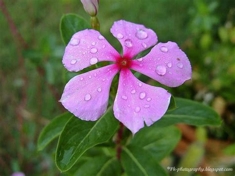 vinca flowers vinca flower pictures beautiful flowers