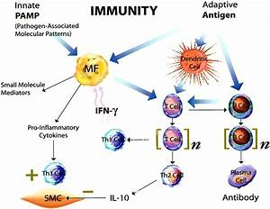 Innate and Adaptive Immunity in the Pathogenesis of ...