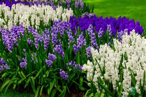 Tips Planting Fall Bulbs by Planting Fall Bulbs 3 Great Varieties To Add Color To