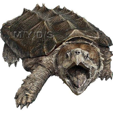 Tortoise clipart amphibians ~ Frames ~ Illustrations ~ HD ...