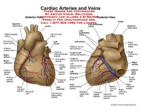 Heart blood flow system with blood vessel scheme. 10 Best images about Coronary Arteries on Pinterest ...