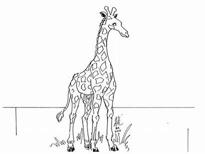 Giraffe Outline Coloring Drawing Pages Printable Animal
