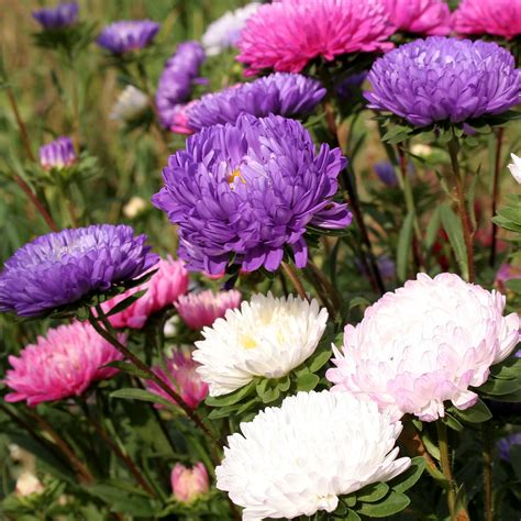 Chrysanthemum China Aster Seeds Callistephus Chinensis