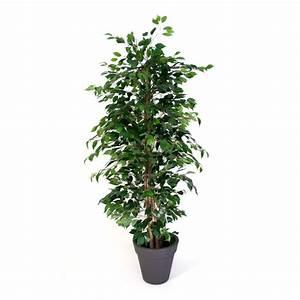 Ficus Benjamini Vermehren : waringin ficus benjamina luchtzuiverende planten ~ Lizthompson.info Haus und Dekorationen