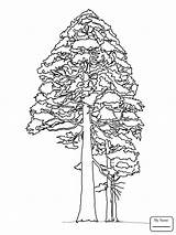 Coloring Sequoia Redwood Giant Pine Tree Drawing Printable Trees Cedar Cone Tutorial Colouring Adult Drawings Line Sketch Supercoloring Template Happy sketch template