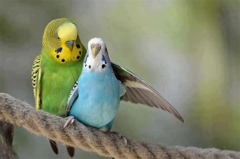 budgie bird english budgie and american budgie i love budgies pinterest english budgies and parakeet