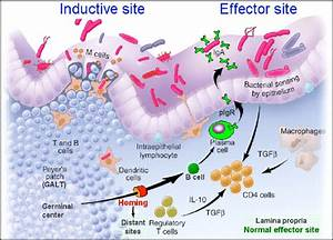 Illustration Of Inductive Site For Intestinal Immunity