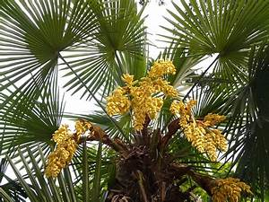 Phoenix Canariensis Entretien : palmier chanvre trachycarpus fortunei plantation culture entretien ~ Melissatoandfro.com Idées de Décoration