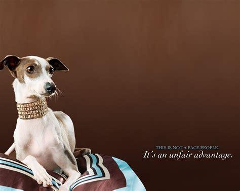 greyhound pc desktop wallpaper