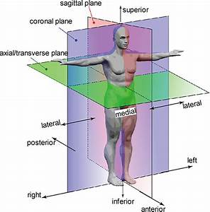 2 Anatomical Planes And Position Definition  The Axial Plane Also