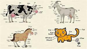Cat Parts  Goat Body Parts  Parts Of A Cow  U0026 Parts Of A