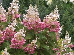 winky hydrangea tree for sale the planting tree