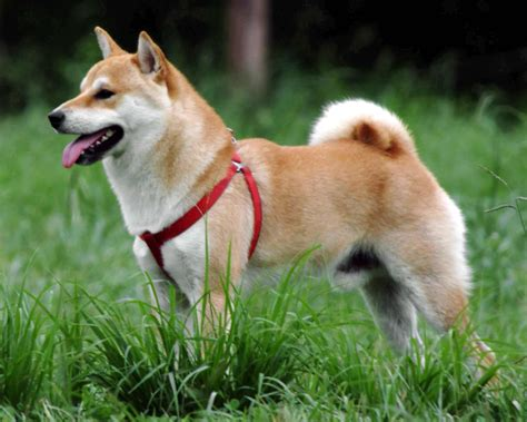shiba inu breed 187 information pictures more