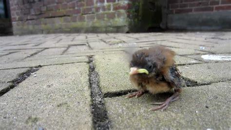 baby bird fallen or tossed from nest youtube