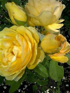 17 Best images about Roses on Pinterest   Friendship ...