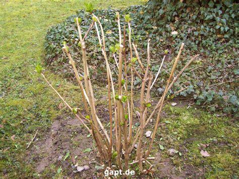 hortensien erfroren was tun im herbst nicht mehr ins freiland pflanzen