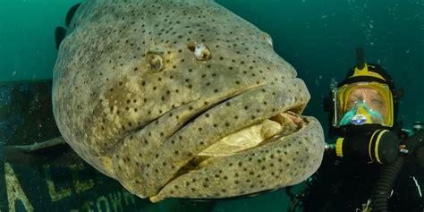 grouper goliath fish giant species rare