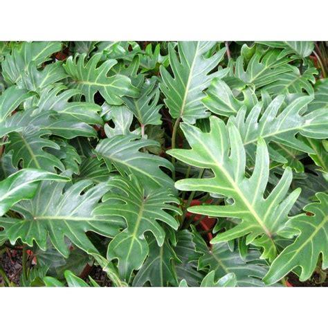 Philodendron Arten Bilder by Philodendron Xanadu Planta 150 00 En Mercado Libre