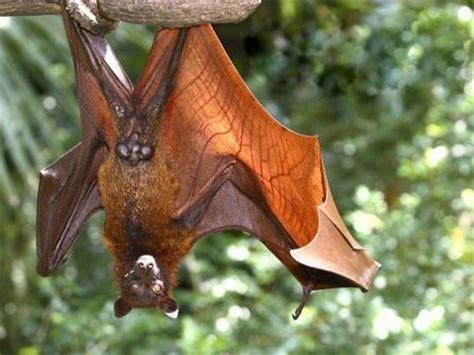 imagenes de murcielagos murcielagopedia
