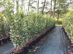Arbuste Persistant Croissance Rapide : arbuste de haie persistant pousse rapide bordeaux ~ Premium-room.com Idées de Décoration