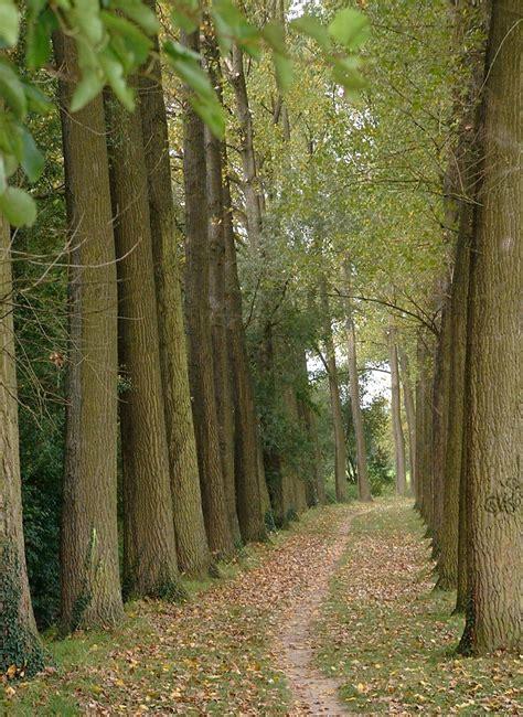 Poplars on Freemages