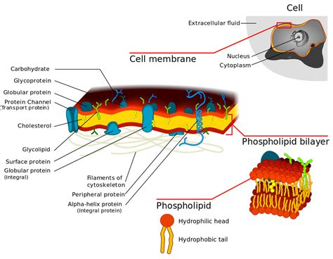 filecell membrane detailed diagram svg wikimedia commons