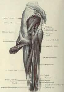 Inner-Thigh Sciatic Nerve