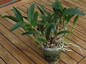 Orchideen Ohne Topf : orchideen umtopfen orchideen forum ~ Eleganceandgraceweddings.com Haus und Dekorationen