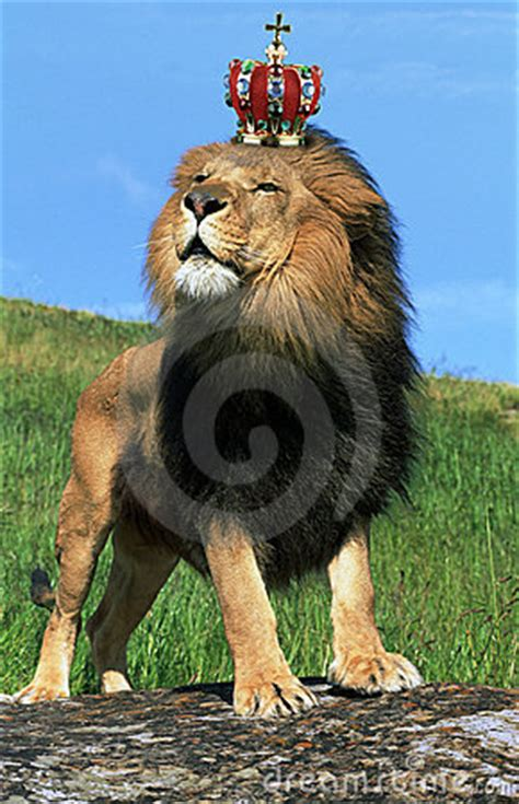 lion wearing crown royalty  stock images image