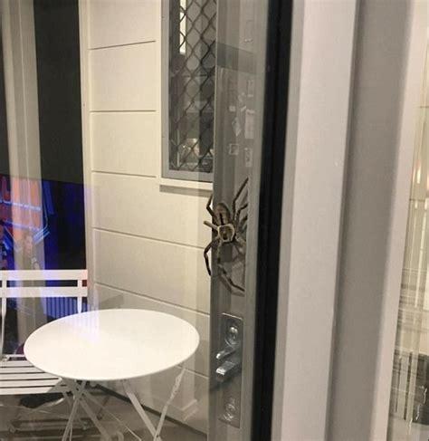 ragno in casa ragno enorme cerca di entrare in casa blitz quotidiano