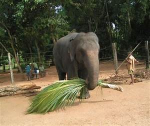Facts About Elephants: What Do Elephants Eat? - InfoBarrel